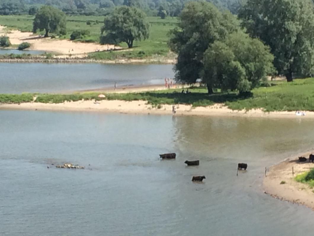koeien in de waal